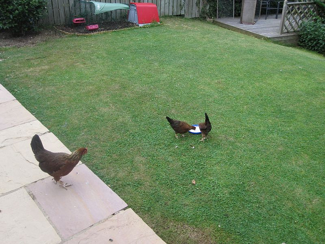 naylor hens in the garden