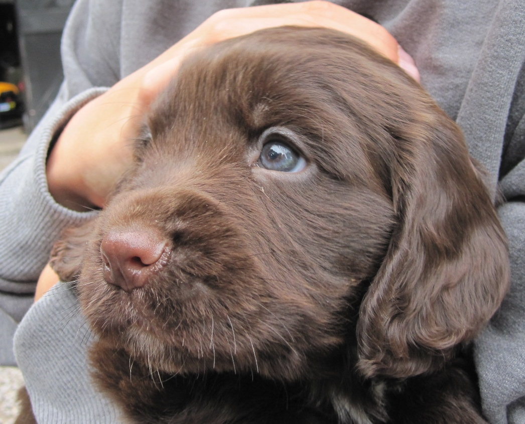Chocolate working cocker spaniel Cooper