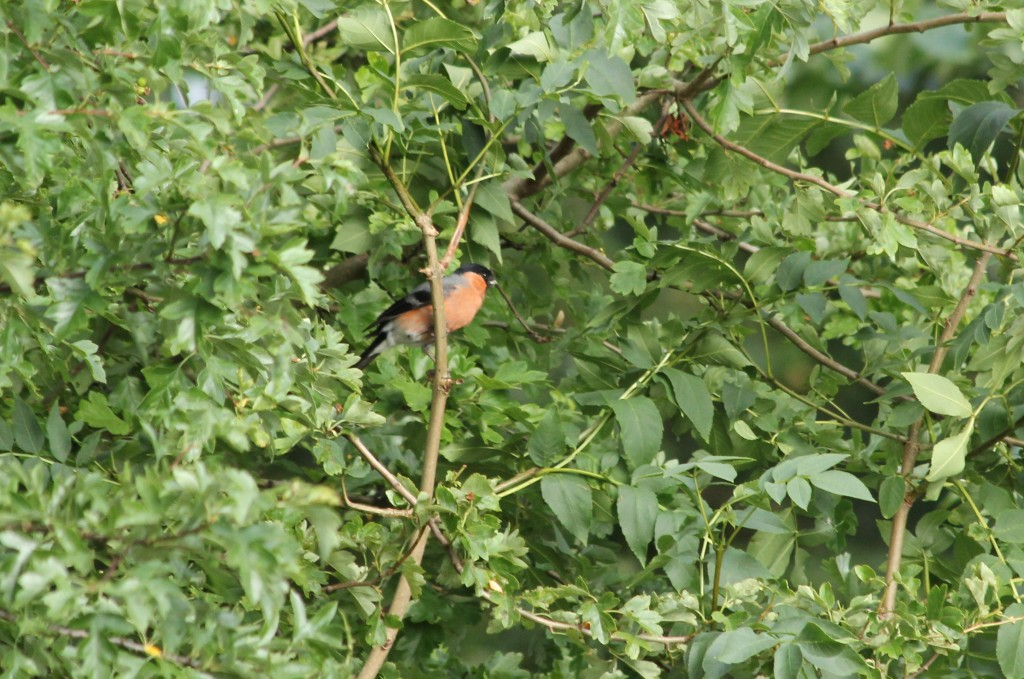 male bullfinch trees